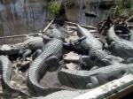 Alligator commune